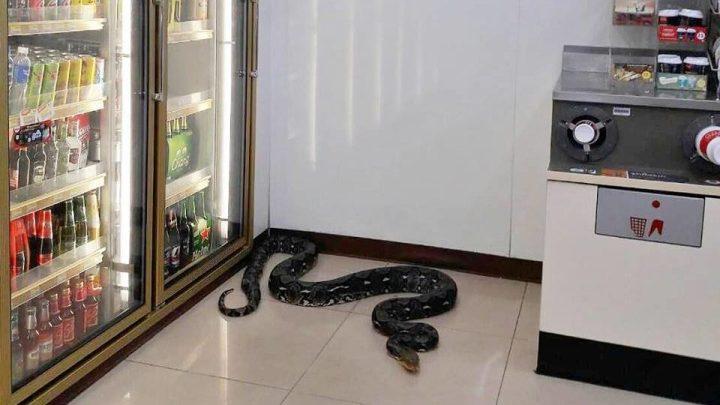 Un serpent de quatre mètres de longueur a réussi a s'introduire dans un 7-Eleven de Chonburi