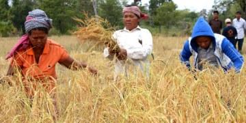 Cambodge : les exportations de riz continuent de baisser