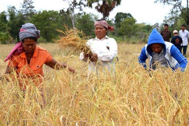 Les exportations de riz cambodgien ont chuté sur les dix premiers mois de l'année
