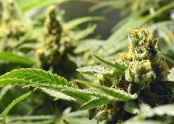 Cannabis médical : le gouvernement thaïlandais donne son feu vert