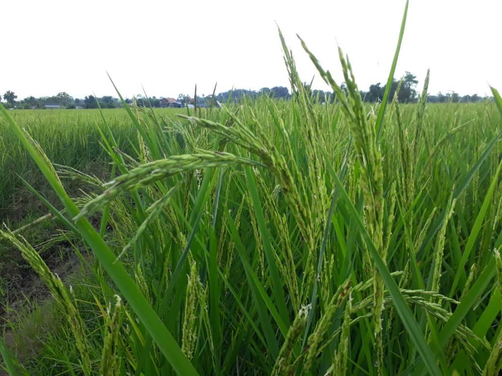 Les exportations de riz thaï devraient baisser cette année