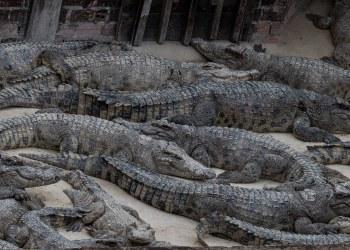 Cambodge : les fermes d'élevage de crocodiles peinent à subsister
