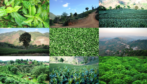 Tea and Tea Garden profiles, Tea Cultivation at Doi Mae Salong, Thailand,collage