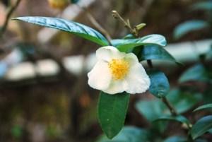 Tea flower in a tea garden at Ban Si Phan Rai, Doi Tung, North Thailand