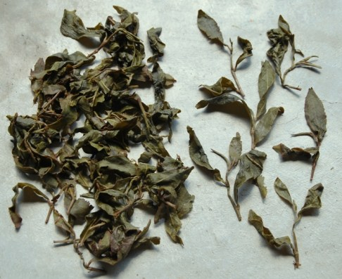 Doi Tung Ruan Zhi Oolong No. 17, wet leaves