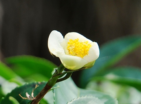 Jin Xuan No. 12, early flower in February 2013, Doi Mae Salong