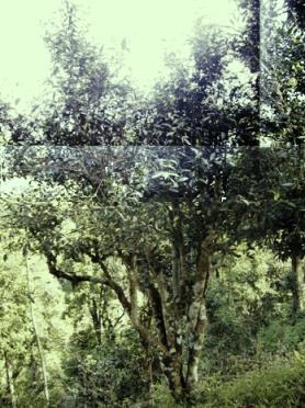 Wild tea tree in north Thailand