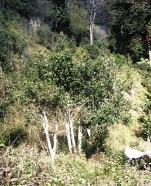 Wild tea tree in north Thailand 2
