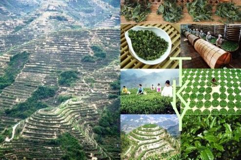 Tie Guan Yin, Anxi County, Fujian Province, China