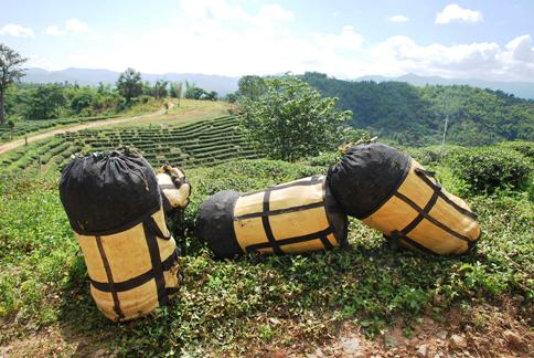Tea leaf bales waiting at the road side in Ban Therd Thai
