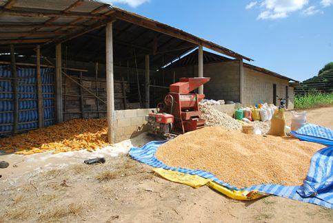 Corn crop at Ban Therd Thai