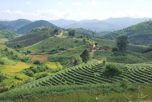 Tea garden panorama in Ban Therd Thai