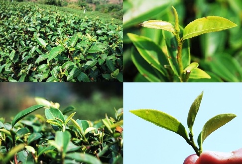 Four Seasons Oolong tea cultivar from Taiwan in einem tea garden in north Thailand