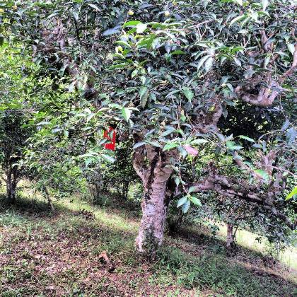 North Thailand's ancient tea trees