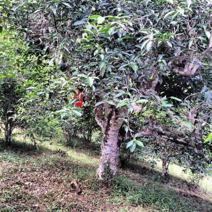 North Thailand's ancient tea trees