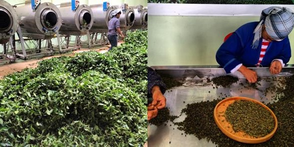 Tea processing - a visit to the tea factory