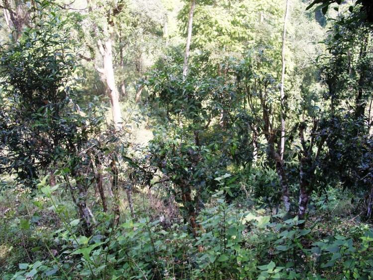 Wild Tea Trees in Mae Hong Son province, near Pang Kham, north Thailand