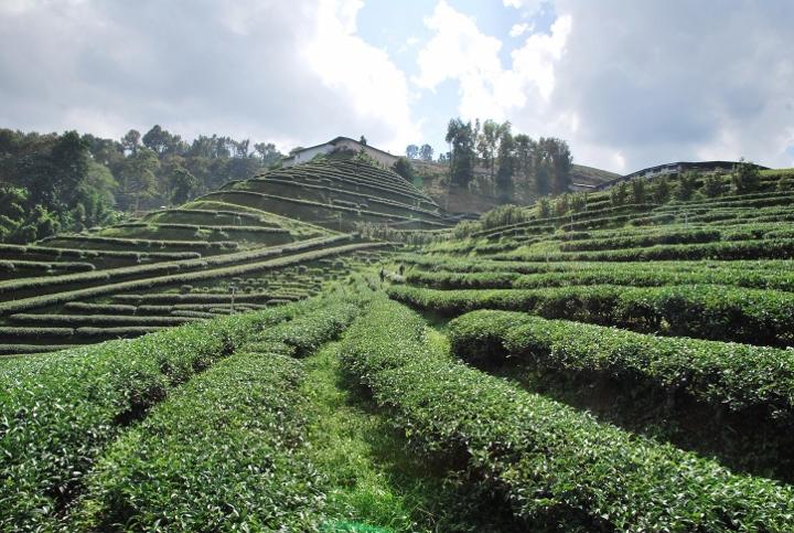 Artfully styled tea garden at Doi Mae Salong