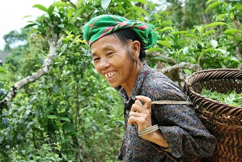 Vietnamese Tea - Hmong woman collecting tea trees from Ancient Thuyet Shan tea trees
