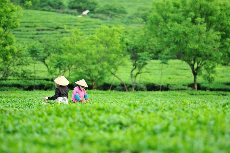 Vietnamese tea - tea pickers in a conventional tea garden in Ha Giang province