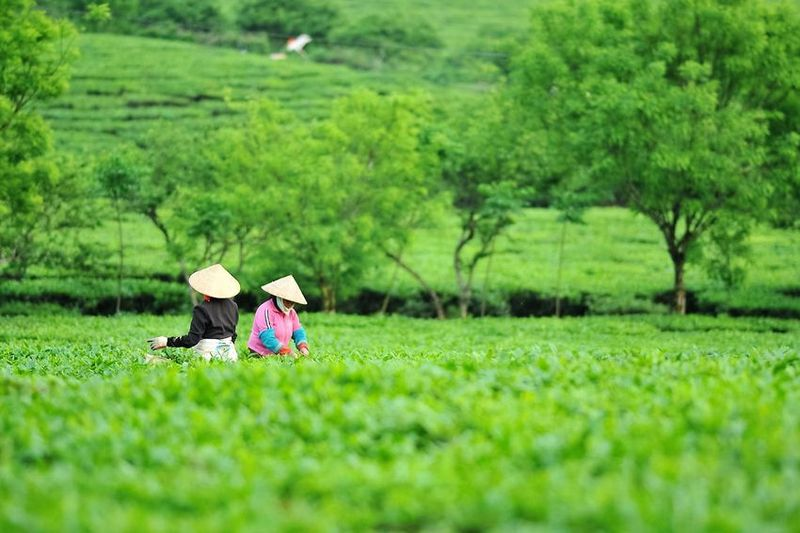 Vietnamese tea - tea pickers in a conventional tea garden in Ha Giang province