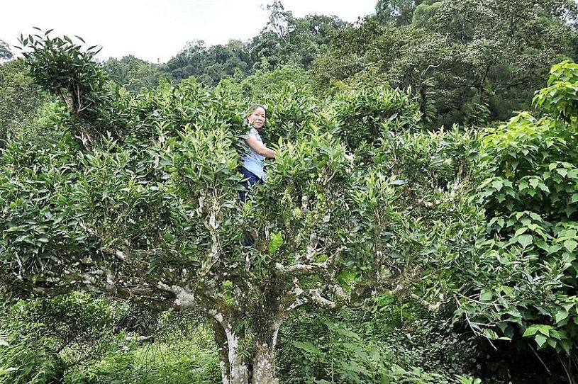 Picking tea leaves from grown tea trees comes with some effort