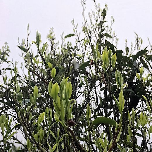"Dancong ""half-tree"" tea bush in Fenghuangshan (Phoenix Mountain), China"