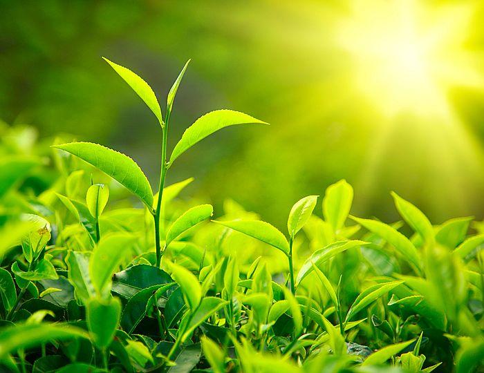The tea plant - Camellia Sinensis - in a tea garden environment