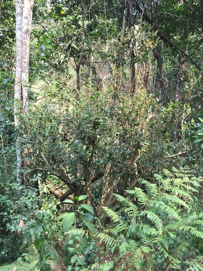 Wild tea tree in north Thailand - close relative of the Yunnan ancient tea tree