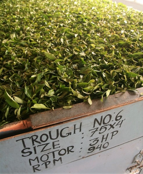Picked leaves from Assam-China-Hybrid, Darjeeling