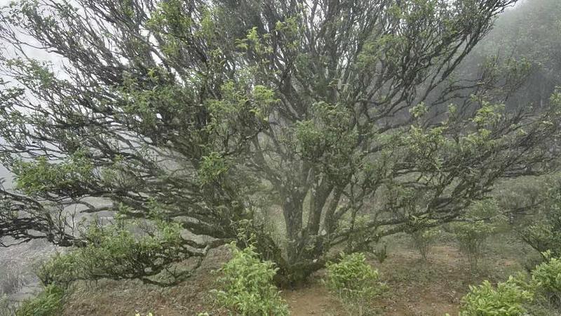 Dancong tea bush, Fenghuangshan, China