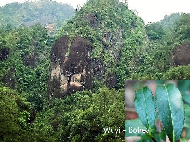 Wuyishan, Fujian - Bohea and Rock Oolong tea plant varieties