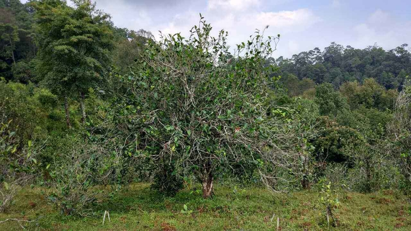 Ancient Yunnan Tea Tree - Camellia Taliensis