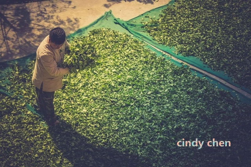 withering tea leaves outdoor - by Chindy Chen