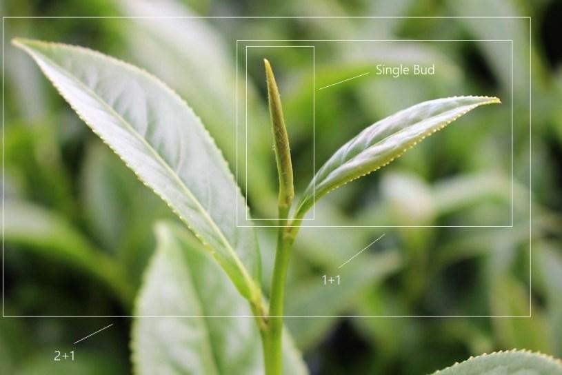 Picking standards illustrated : single bud, 1+1, 1+2