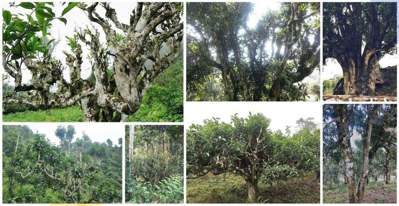 Ancient tea trees in Yunnan, northern Vietnam, Laos and northern Thailand