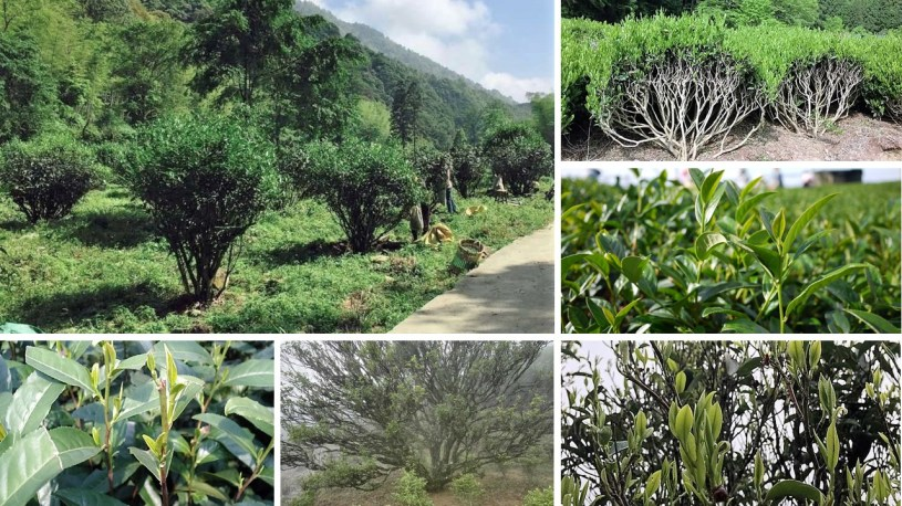 Small Leaf Tea Bushes and Half-Tree Bushes in China