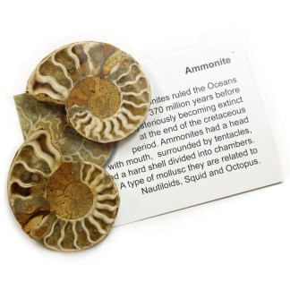 Ammonite with certificate