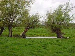 Entretien riviere saules en tetard