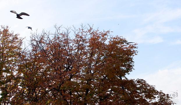 golub jesen