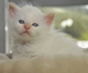 Siberian Cats of Kywy's - Neva Kitten November 2015