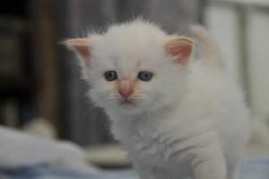 white-red-kitten
