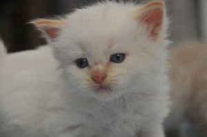 white-red-kitten2