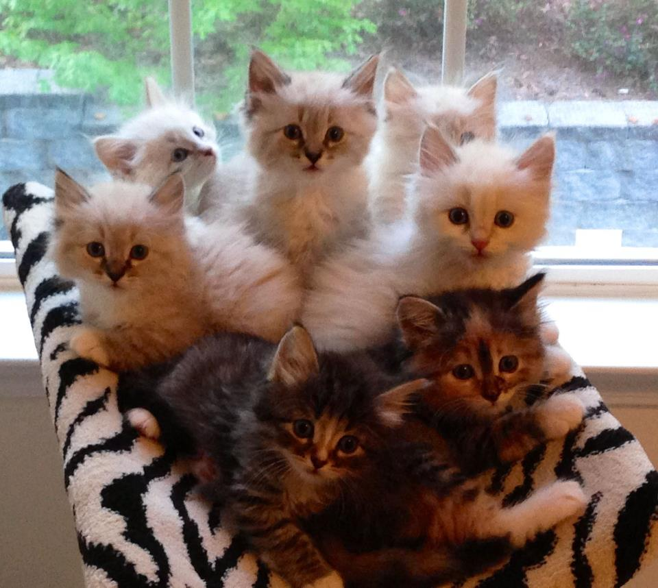 Hypo-Allergenic Kittens for Christmas - Croshka Siberians