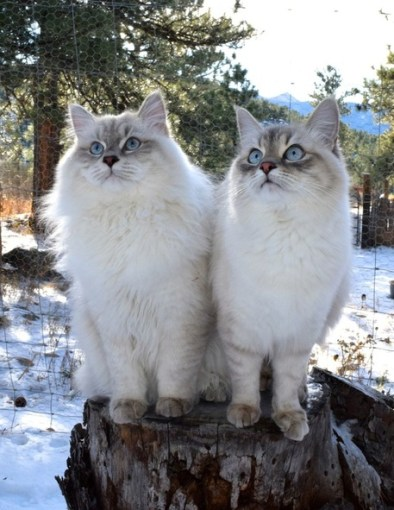 Friday Link Love: Siberian Pearl Cats
