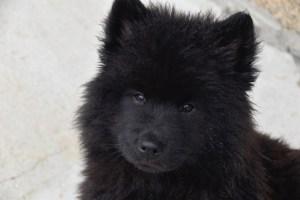 black Eurasier puppy