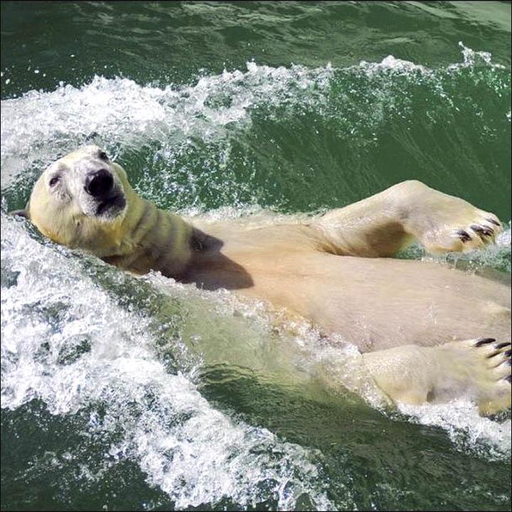 Polar bear in Novosibirsk zoo