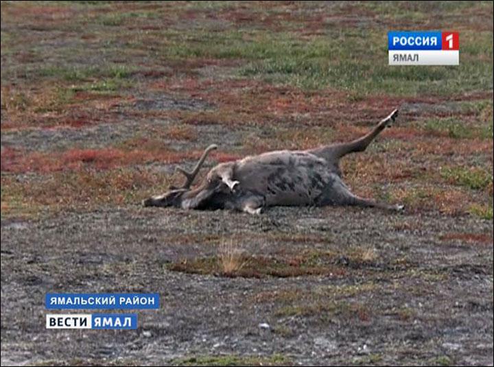 Resultado de imagem para anthrax dead reindeer