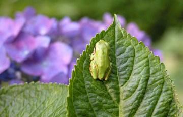 紫陽花とカエル
