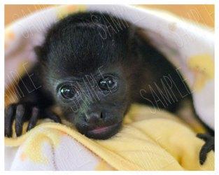 sweet baby howler monkey adoption rescue